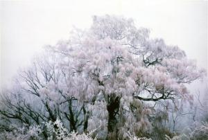 Hoarfrost on a weeping willow, Cromwell, winter 1978.