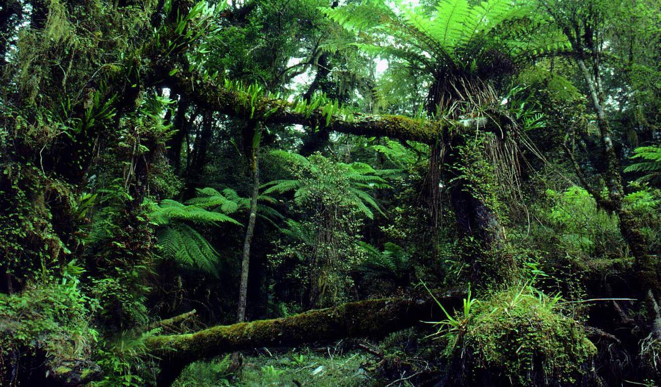 Superb Rainforest Floor 2 Hollyford Valley (1310×766) | Amazing Photographs. |  Pinterest