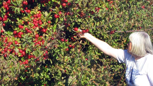 North of Masterton on State Highway 2, on our way home from Mt Bruce, we spied a heavily laden crabapple tree. We stopped and harvested some.