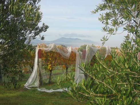 Freshly picked grapevine framed by olive trees. Haurangi Range in the background.