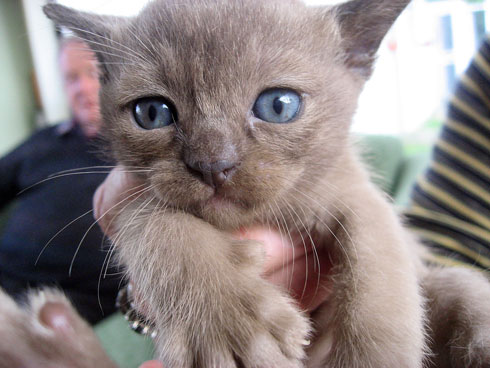 One of the burmese kittens we looked at yesterday. This is a male seal.