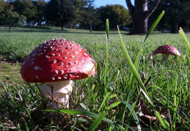 Red-mushrooms-at-the-Martinborough-Golf-Club