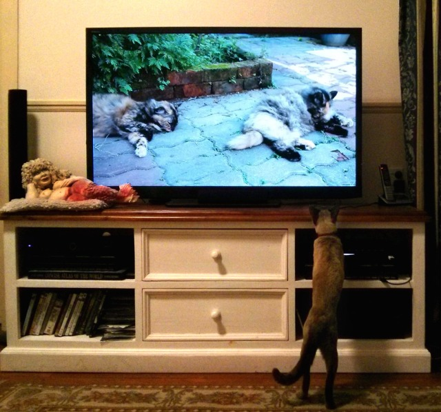 Chino-watching-cats-on-YouTube