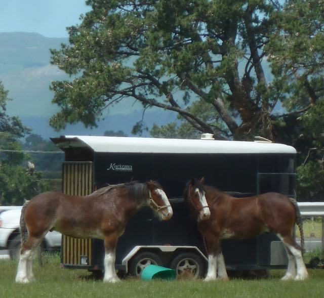 Nice pair of Clydesdale draught horses.