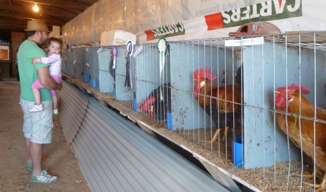 A little girl looks around, frightened by raucous rooster racket in the poultry house.