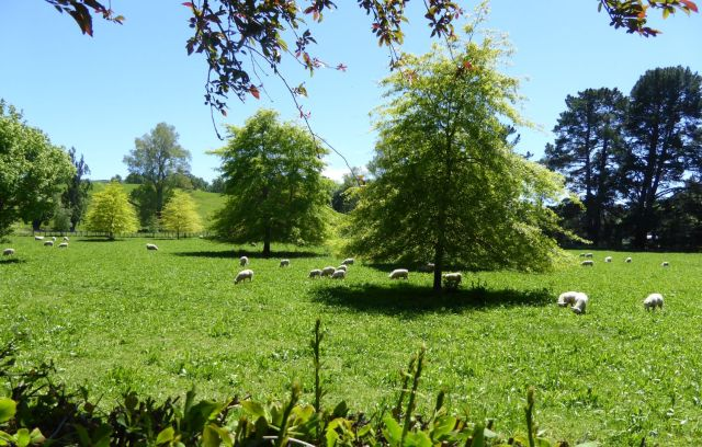 Sheep grazing in a grass and plantain pasture next door to the Abbotsford Garden.