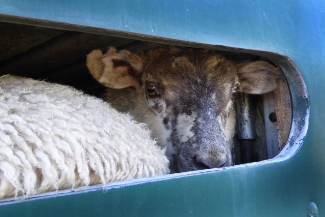Sheep in truck outside church-1 Dec 2015