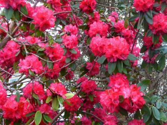 Rhododendron, 39 Dublin St, 04