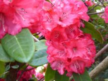 Rhododendron, 39 Dublin St, 09