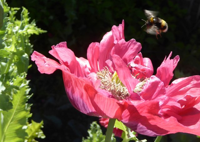 Poppy-with-bumble-bee
